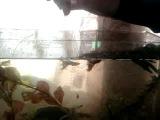 аквариумная рыбалка на сыр косичку